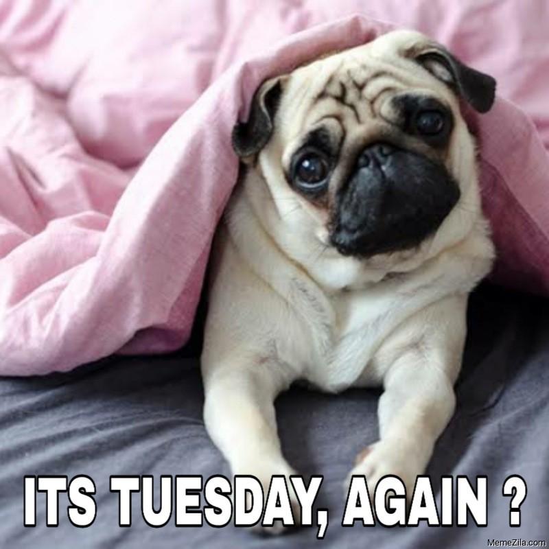 Its Tuesday again Dog meme