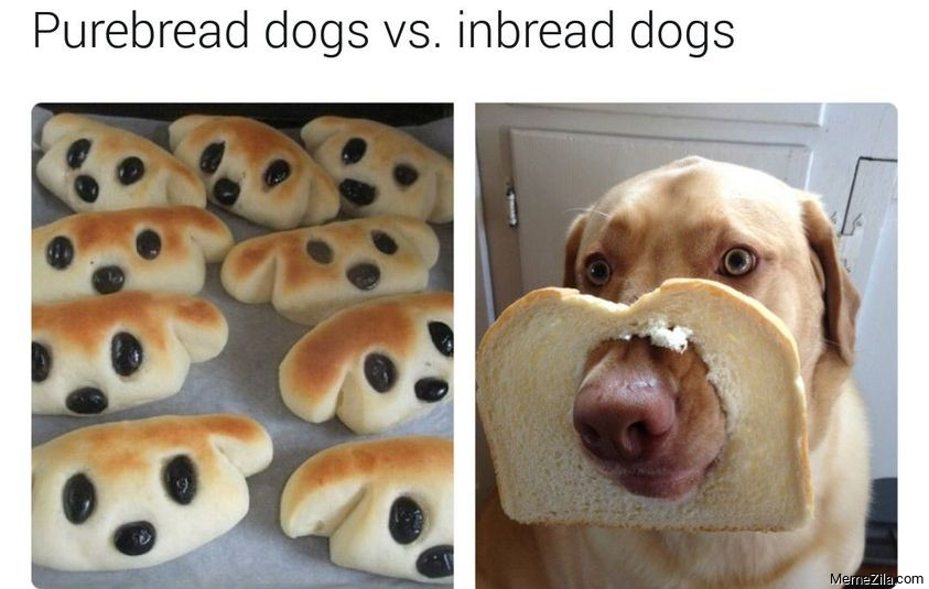 Pure bread dogs vs inbread dogs meme