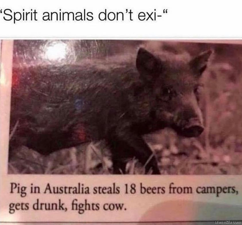 Spirit animals doesnt exist Pig in Australia steals 18 years from campers gets drunk fights cow meme