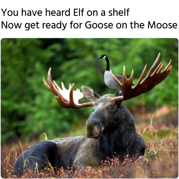 You have heard Elf on a shelf Now get ready for Goose on the Moose meme